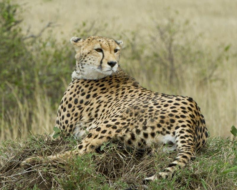 Un backview del primo piano di un ghepardo adulto che riposa sopra un'erba ha coperto il monticello di testa girata indietro fotografia stock
