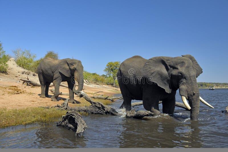 Un baigner dans le fleuve de Chobe photos stock