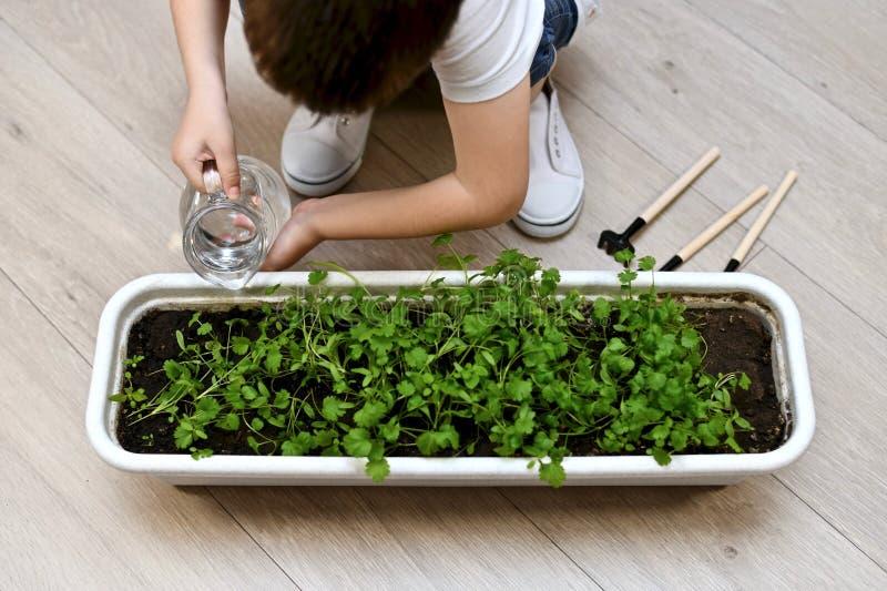 Un bambino con due mani da una brocca versa i verdi immagine stock
