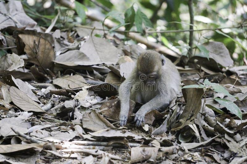 un bambino della scimmia sta cercando sulla terra immagine stock libera da diritti