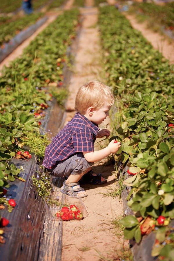 Un bambino piccolo alle fragole della fragola di un raccolto dell'azienda agricola all'aperto fotografie stock libere da diritti