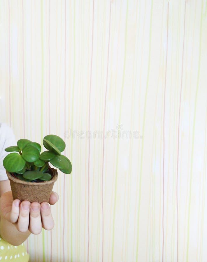 Un bambino sta tenendo un fiore conservato in vaso Mani del `s dei bambini Tuta del giardino Cura per le piante fotografia stock libera da diritti