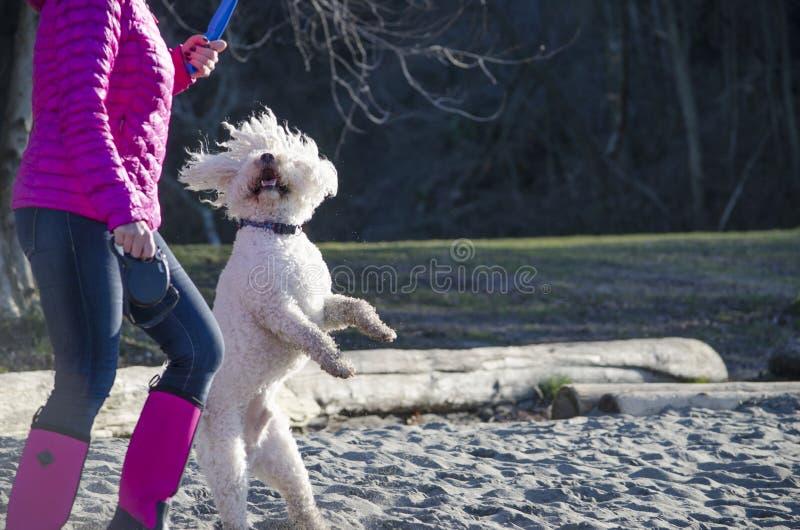 Un barboncino bianco balla accanto al suo proprietario immagine stock libera da diritti