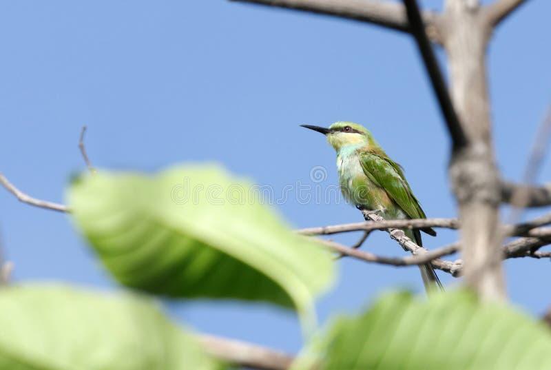 Un bea-mangiatore verde dentro le foglie immagine stock