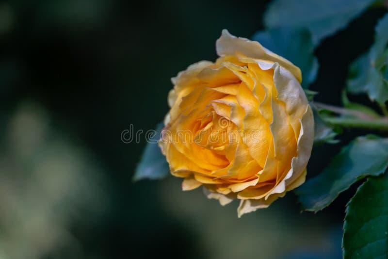 Un beau bourgeon d'une rose jaune tendre avec beaucoup de pétales Fleur du côté droit dans la perspective d'un gre naturel vert b images libres de droits