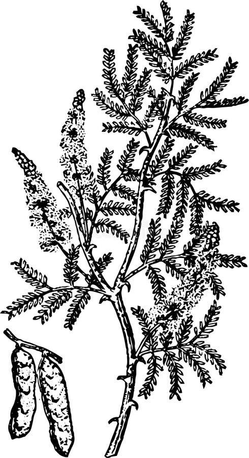 Un beau brin d'acacia parfumé et barbelé illustration libre de droits