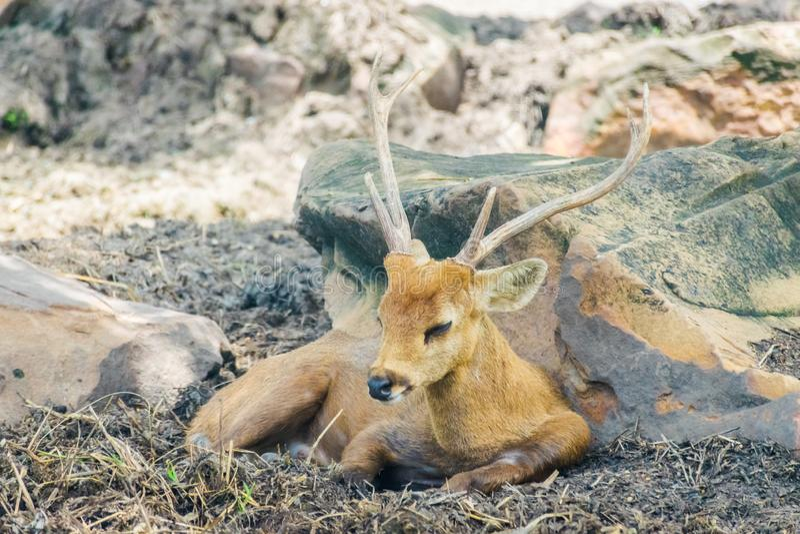 Un beau cerf commun de klaxon se repose au sol photos libres de droits
