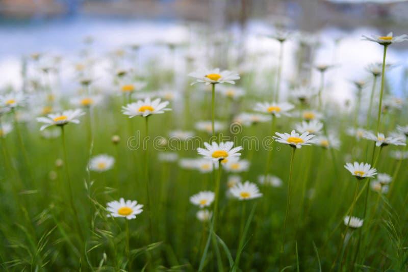 Un beau champ blanc de camomille sur un fond vert photographie stock
