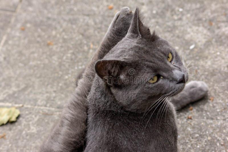 Un beau chat égaré se trouvant sur un plancher frais tout en se léchant pour le nettoyage photos libres de droits