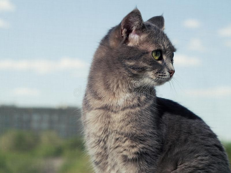 Un beau chat aux yeux verts gris avec les rayures noires et blanches se repose sur le rebord de fen?tre et regarde ? partir du image libre de droits
