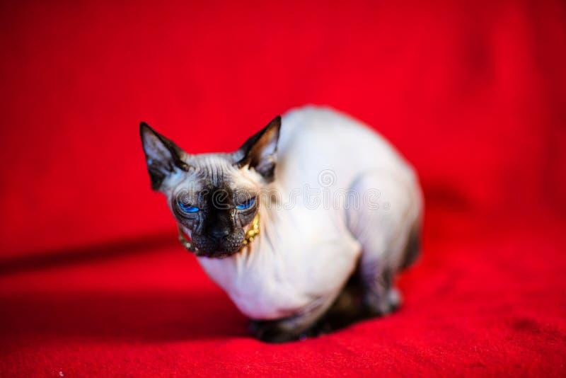 Un beau chat gris de sphinx photographie stock libre de droits