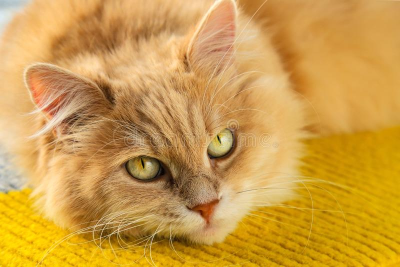 Un beau chat orange pelucheux avec grands yeux verts et moustache photographie stock libre de droits