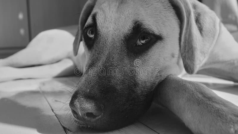 Un beau chien avec sa tête sur ses pattes semblant tristes photos libres de droits