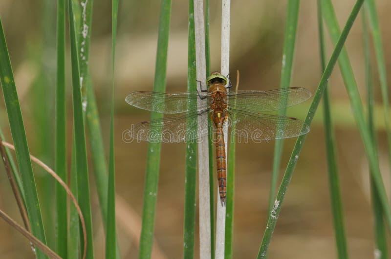 Un beau colporteur Dragonfly, isoceles de la Norfolk d'Anaciaeschna, étant perché sur une tige dans les roseaux au bord d'un lac images libres de droits