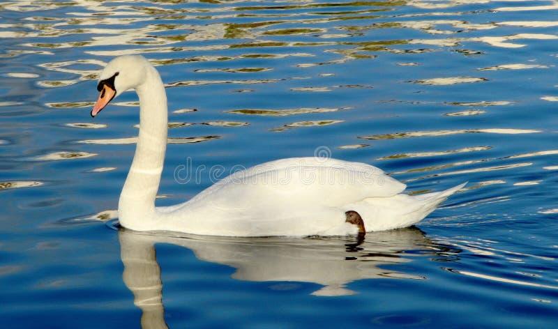 Un beau cygne blanc nageant avec élégance sur les vagues photos libres de droits