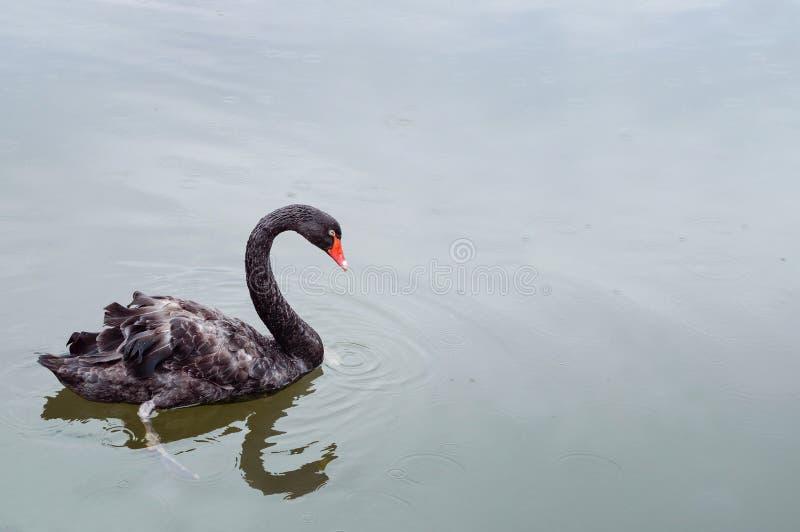 Un beau cygne noir flottant sur la surface d'étang sous la pluie Copyspace pour le texte image stock