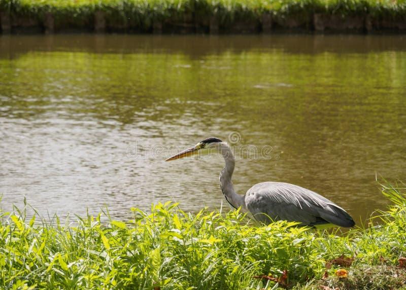 Un beau grand oiseau de héron sur la banque de canal dans l'herbe verte un jour ensoleillé lumineux dans la ville néerlandaise de photos libres de droits