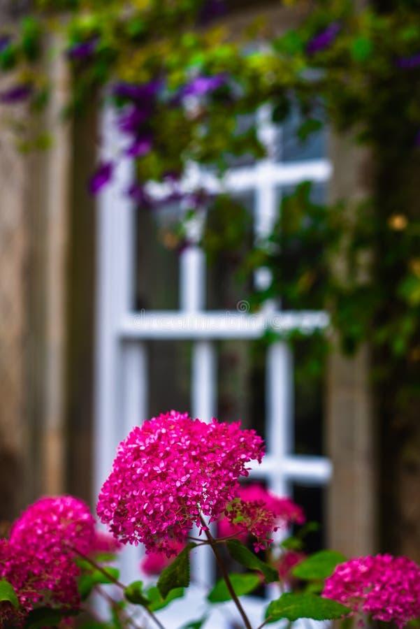 Un beau jardin britannique de pays avec les fleurs magenta devant une fenêtre encadrée traditionnelle photo stock