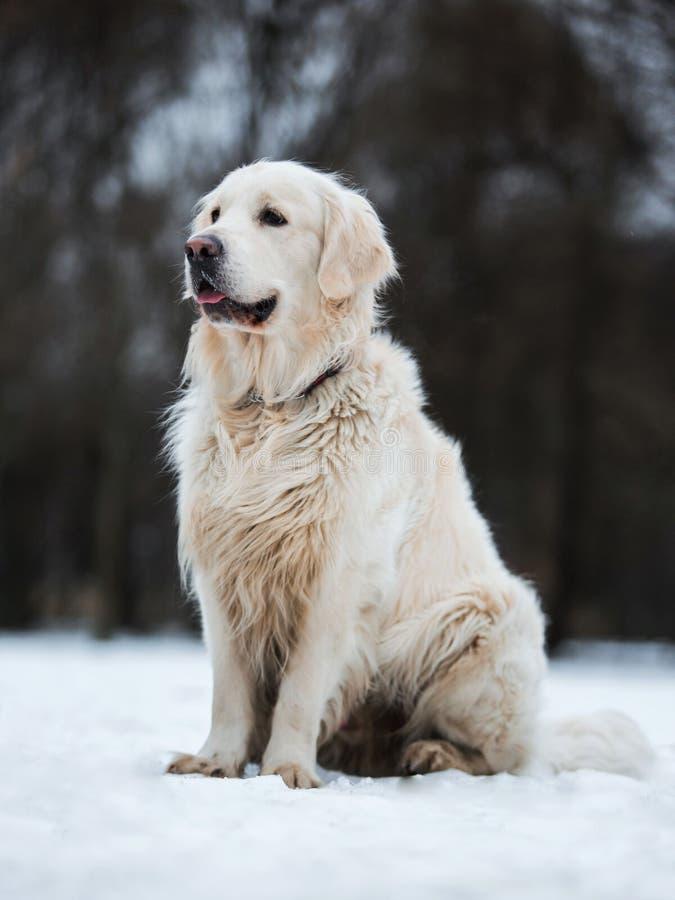 Un beau, mignon et câlin chien de golden retriever se reposant en parc un jour nuageux d'hiver photos stock