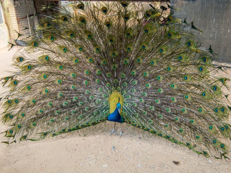 Un beau paon écarte ses queue-plumes dans le temps de jardin au cours de la journée images libres de droits