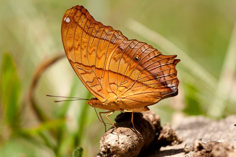 Un beau papillon commun de croiseur images stock