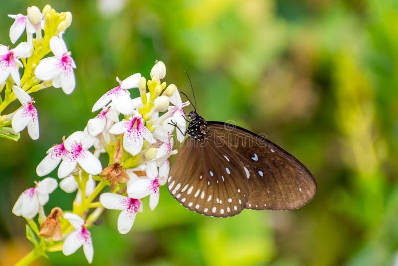 Un beau papillon restant et rassemblant le nectar sur des fleurs photos libres de droits