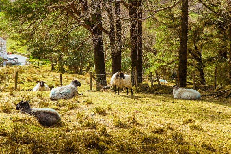 Un beau paysage irlandais de montagne au printemps avec des moutons images stock
