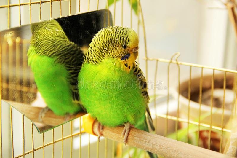 Un beau perroquet onduleux se repose dans une cage pr?s du miroir photographie stock