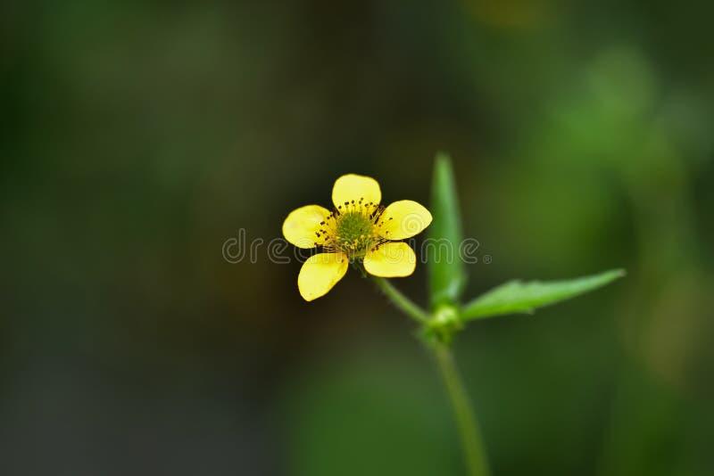 Un beau petit pré jaune de fleur, renoncule grande sur un fond foncé photographie stock