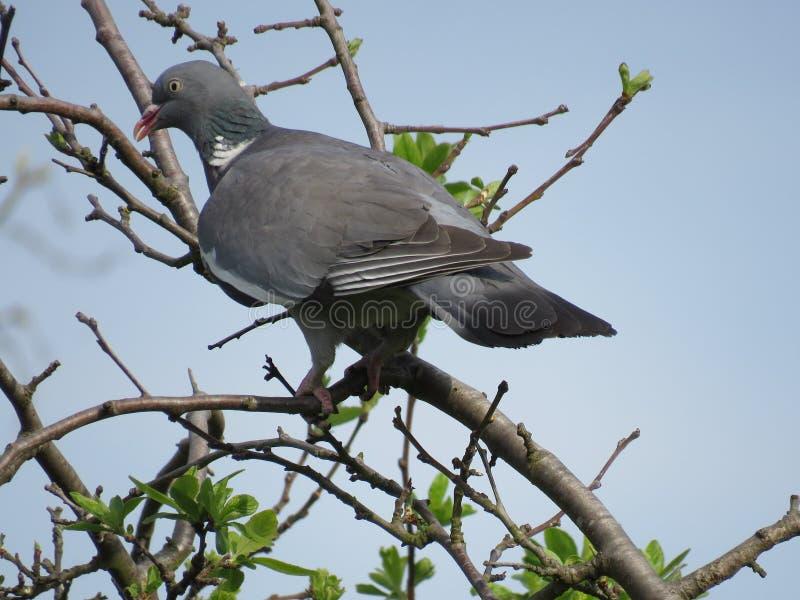 Un beau pigeon a plongé culver se reposant sur la branche d'arbre sur le fond de ciel bleu Ramier commun photographie stock libre de droits