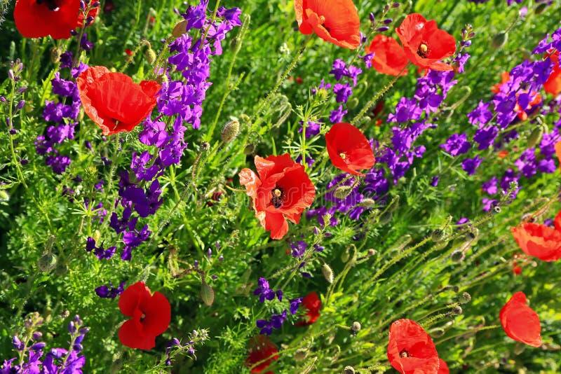 Un beau pré coloré de fleur avec des pavots photos libres de droits