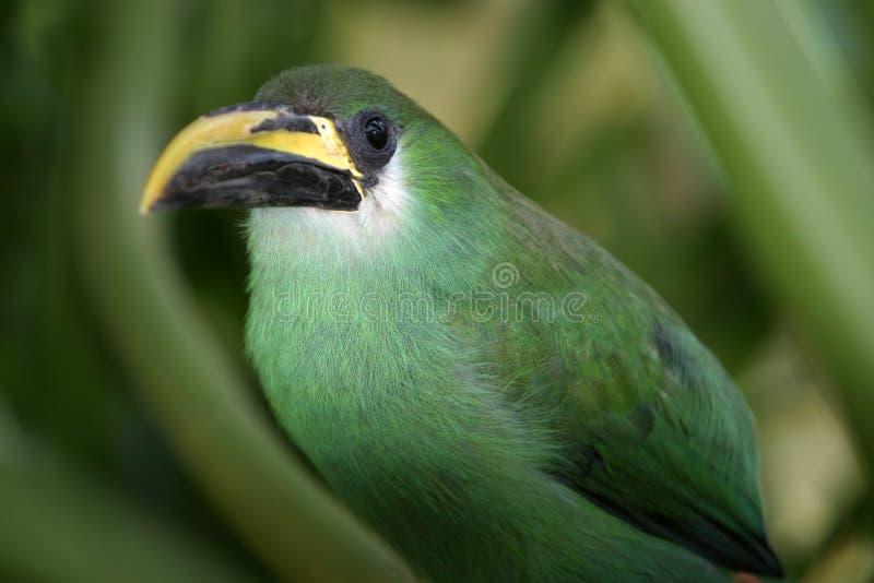 Un beau prasinus vert vert de Toucanet Aulacorhynchus se cache dans un buisson photo libre de droits