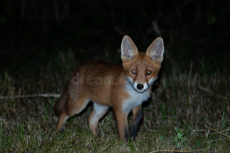 Un beau renard sur le champ la nuit photos stock