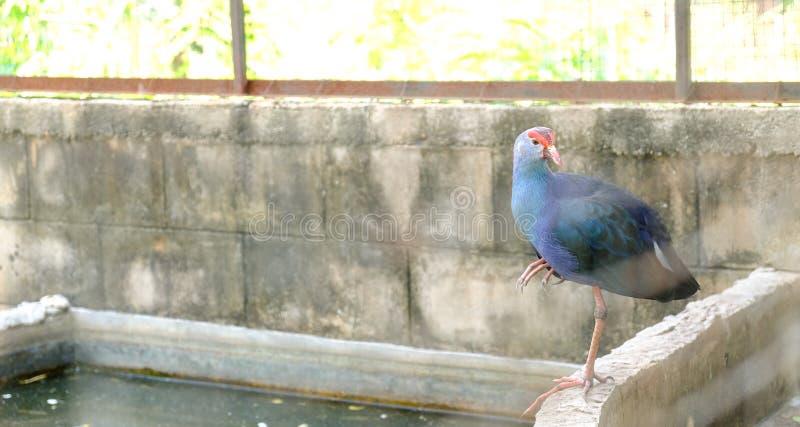 Un beau Swamphen pourpre se tenant près du réservoir photographie stock