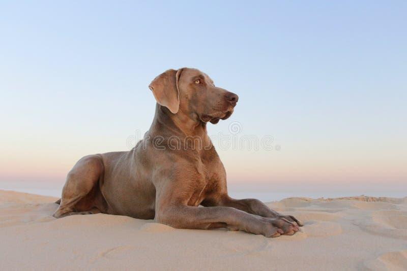 Un beau weimeraner pose sur la plage dans cette image photos stock