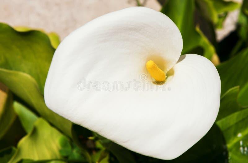 Un beau zantedeschia blanc dans le jardin en état naturel, fin  images libres de droits
