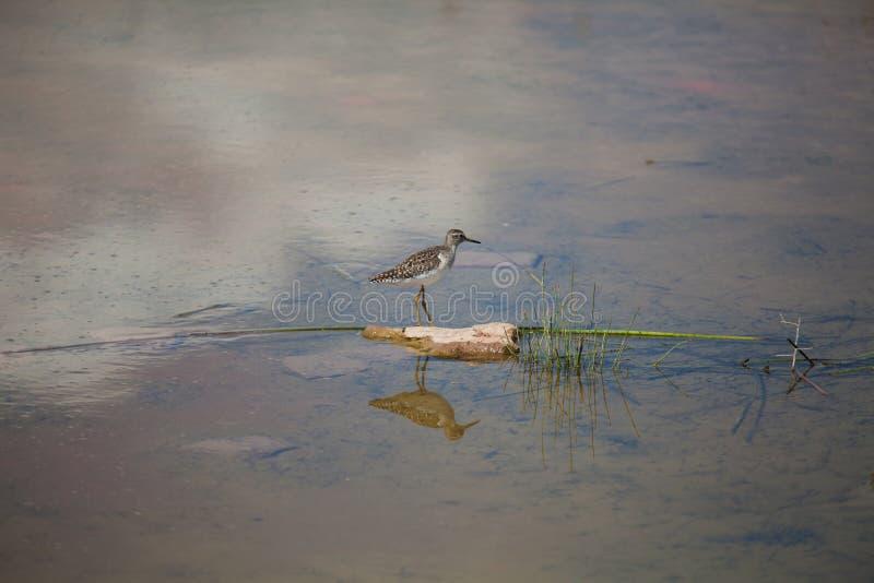 Un beccaccino che si siede nel lago immagine stock
