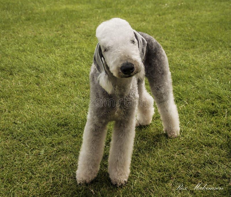 Un Bedlington Terrier images stock