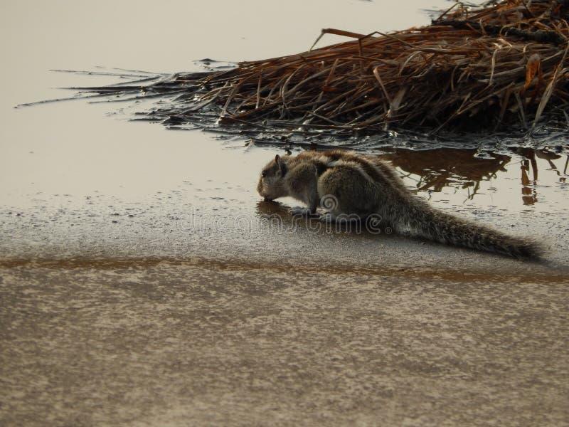 Un bel écureuil assoiffé en Inde photo stock