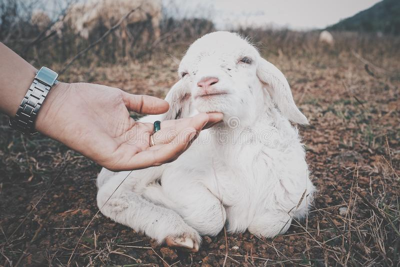 Un bel agneau photos libres de droits