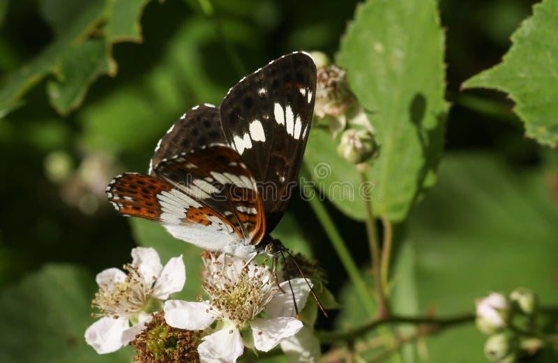 Un bel amiral blanc Butterfly Limenitis Camilla nectaring sur une fleur de mûre dans la région boisée images stock