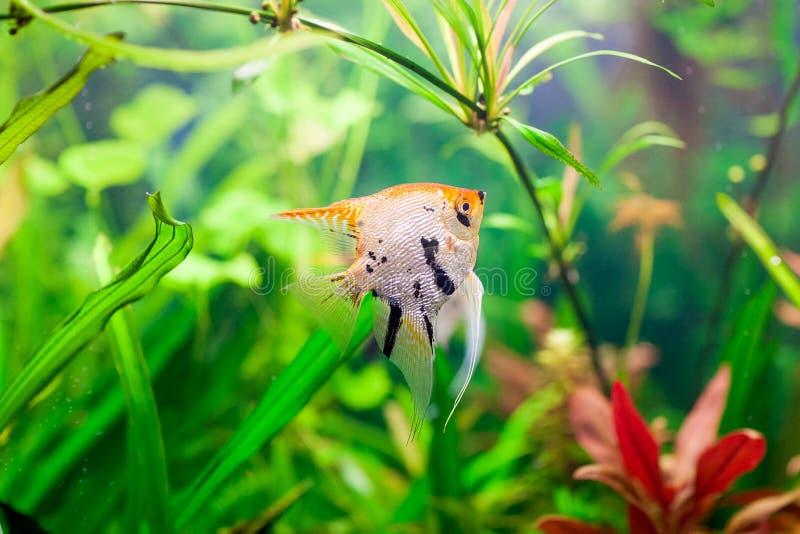 Un bel aquarium d'eau douce tropical planté vert avec le scalare de pterophyllum de poissons photos stock