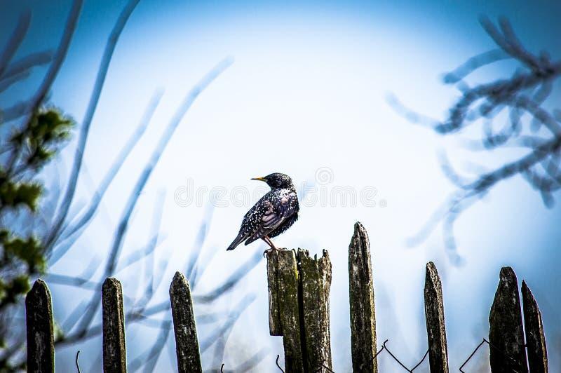 Un bel oiseau se repose sur une vieille barrière en bois et regarde autour image libre de droits