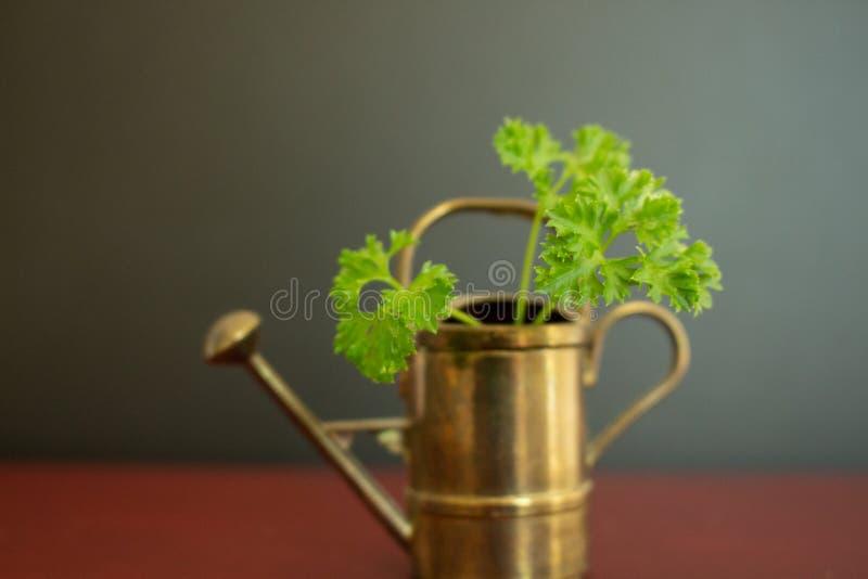 Un bel outil de jardinage de boîte d'arrosage avec une tige de persil vert dans elle photos stock