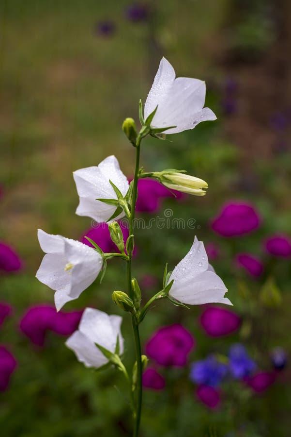 Un bellflower blanco imagenes de archivo