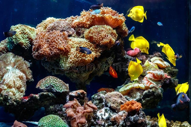 Un bello acquario con i coralli e pescare ascophyllum nodosum zebrasome giallo immagini stock libere da diritti