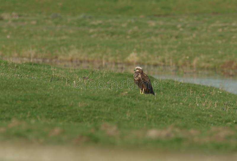 Un bello aeruginosus di Marsh Harrier Circus che si appollaia sull'erba in un prato fotografia stock
