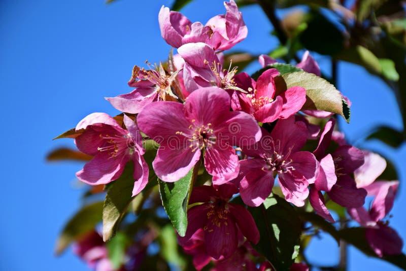 Un bello albero è sbocciato nel giardino, molla immagini stock libere da diritti