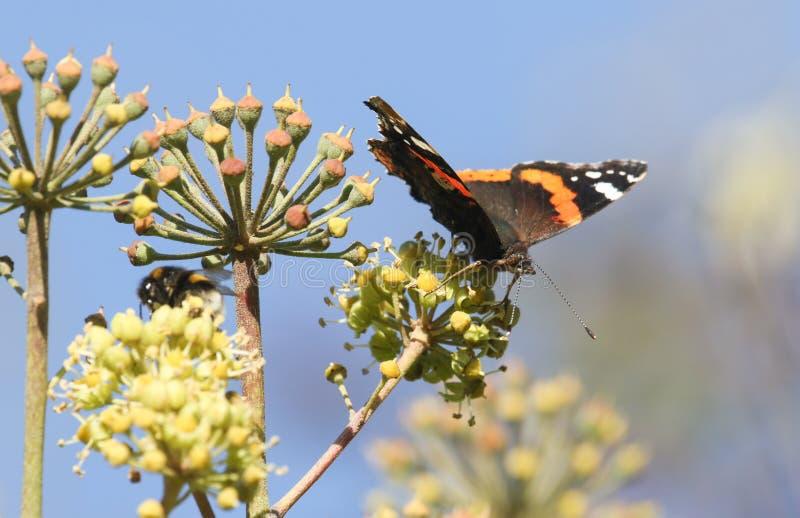 Un bello atalanta di ammiraglio rosso Butterfly Vanessa che nectaring sull'elica di Ivy Flowers Hedera fotografia stock libera da diritti
