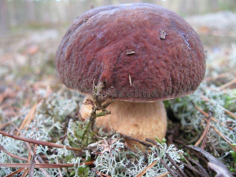 Un bello boletus del fungo si sviluppa nella foresta immagini stock